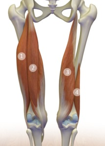The Hamstring Muscle