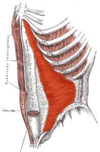 The transversus abdominus muscle.